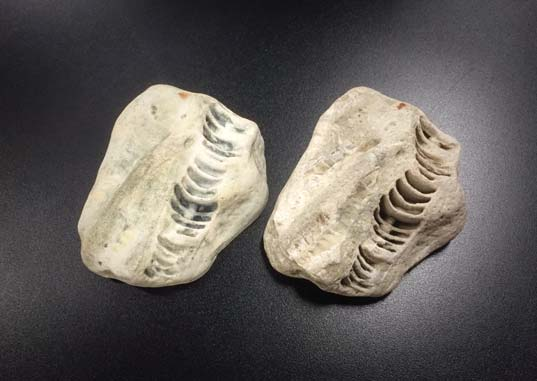 3D Printed Fossils 3D Systems Objex Unlimited